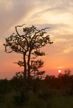 kruger national park: A mopane tree silhouetted against the sunset, north of Letaba restcamp, Kruger National Park, South Africa  Stock Photo