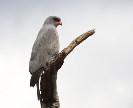 melierax: A Dark Chanting Goshawk perched on the branch of a dead tree in the uMkhuze KZN Park, KwaZulu-Natal, South Africa