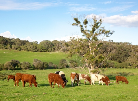 australian beef cow: A mixed herd of cattle in the Caves Road area of Margaret River in Western Australia