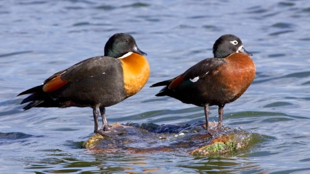 birdlife: Colorful Australian Shelduck  Tadorna tadornoides  pair, with the male on the left