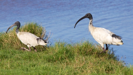 The Australian White Ibis  Threskiornis moluccus , is a wading bird of the ibis family Threskiornithidae  It is widespread across much of Australia   Stock Photo - 23037263
