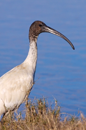 The Australian White Ibis  Threskiornis moluccus , is a wading bird of the ibis family Threskiornithidae  It is widespread across much of Australia Stock Photo - 23037270