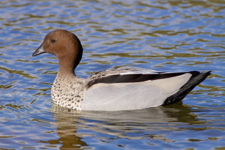 dabbling: A male Australian Wood Duck, Maned Duck or Maned Goose  Chenonetta jubata , a dabbling duck found throughout much of Australia