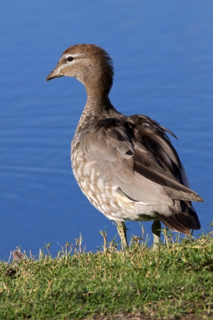 dabbling: A female Australian Wood Duck, Maned Duck or Maned Goose  Chenonetta jubata , a dabbling duck found throughout much of Australia