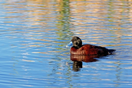 herdsman: The shy Blue-billed Duck  Oxyura australis  is a small Australian stiff-tailed duck  The male has a slate-blue bill which changes to bright-blue during the breeding season  Stock Photo