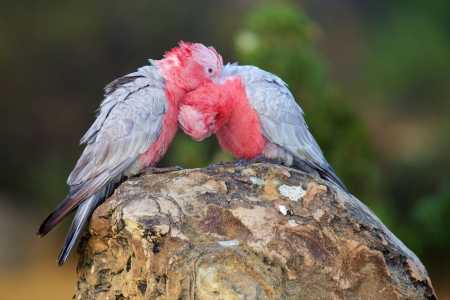cockatoos: The Galah, also known as the Rose-breasted Cockatoo, Galah Cockatoo, Roseate Cockatoo or Pink and Grey, is one of the most common and widespread cockatoos  It is found in open country in almost all parts of mainland Australia