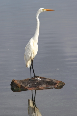 birdlife: Distibuted across most of the tropical and warmer temperate regions of the world, the Great Egret  Ardea alba  is also known as the common egret, large egret or great white heron  This example was photographed in Australia