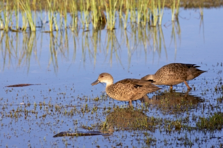 dabbling: The Grey Teal  Anas gracilis  is a dabbling duck found in open wetlands in New Guinea, Australia, New Zealand, Vanuatu and Solomon Islands
