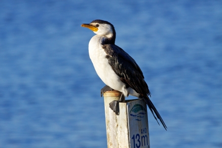 birdlife: The Little Pied Cormorant, Little Shag or Kawaupaka  Microcarbo melanoleucos  is a common Australasian waterbird, found around the coasts, islands, estuaries, and inland waters of Australia, New Guinea, New Zealand, Malaysia, and Indonesia, and around the