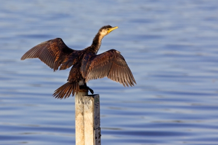australasian: The Little Pied Cormorant, Little Shag or Kawaupaka  Microcarbo melanoleucos  is a common Australasian waterbird, found around the coasts, islands, estuaries, and inland waters of Australia, New Guinea, New Zealand, Malaysia, and Indonesia, and around the