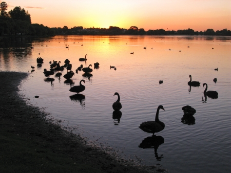 Waterfowl at sunset at Lake Monger in Perth, Western Australia  photo