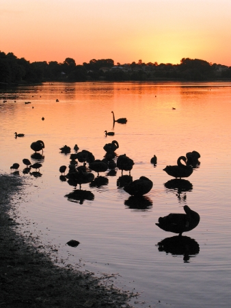 birdlife: Waterfowl at sunset at Lake Monger in Perth, Western Australia