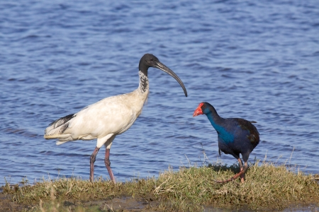 herdsman: An Australian White Ibis  Threskiornis moluccus  in close company with a Purple Swamphen  Porphyrio porphyrio  at Herdsman Lake in Perth, Western Australia