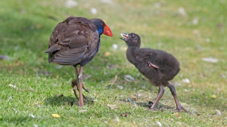 birdlife: The Purple Swamphen  Porphyrio porphyrio  Stock Photo