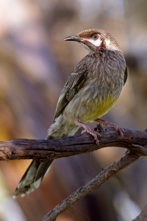 birdlife: The Red Wattlebird  Anthochaera carunculata  is a honeyeater; a group of birds, found mainly in Australia and New Guinea, which have highly developed brush-tipped tongues adapted for nectar feeding