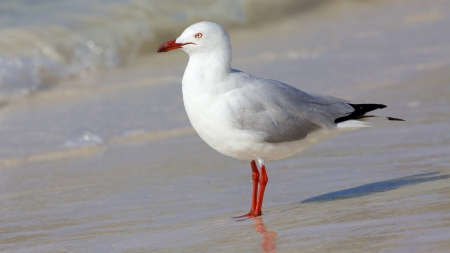 birdlife: The Silver Gull  Chroicocephalus novaehollandiae  is the most common gull seen in Australia  It has been found throughout the continent, but particularly at or near coastal areas  Stock Photo