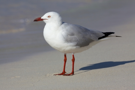webbed foot: The Silver Gull  Chroicocephalus novaehollandiae  is the most common gull seen in Australia  It has been found throughout the continent, but particularly at or near coastal areas  Stock Photo