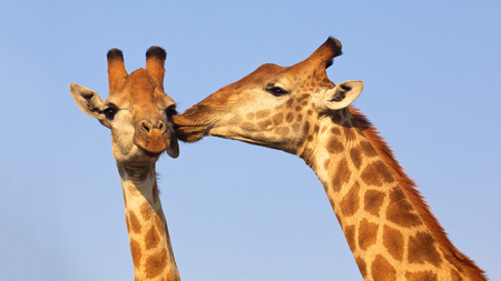 Giraffe pair kissing in the Kruger National Park, South Africa  Suitable as wildlife image or for special occasions such as Valentine photo