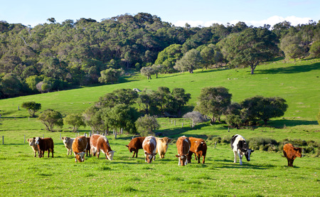 A mixed herd of cattle in the Caves Road area of Margaret River in Western Australia