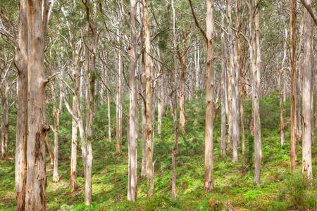 western australia: The Boranup Karee Forest  near the town of Margaret River, Western Australia