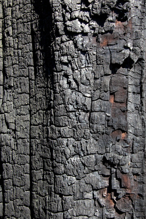 bush fire: The charred bark of an indigenous Australian tree after a bush fire  Stock Photo