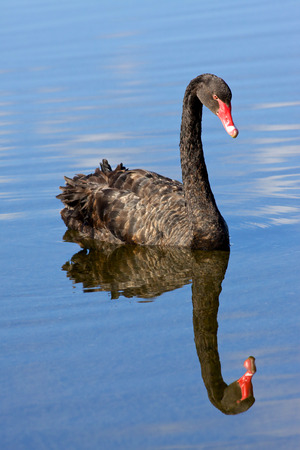 cygnus atratus: The Black Swan  Cygnus atratus  is one of Australia s best-known birds, breeding mainly in the south-east and south-west regions