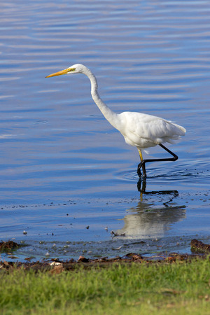 birdlife: the Great Egret  Ardea alba  is also known as the common egret, large egret or great white heron