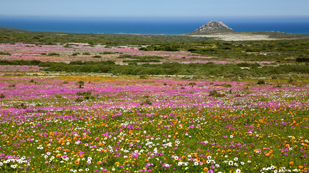 A profusion of wildflowers growing in the West Coast National Park, near Langebaan in the Western Cape, South Africa. Archivio Fotografico