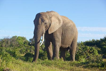 Close encounter met een olifant in Addo Elephant National Park Zuid-Afrika. Stockfoto