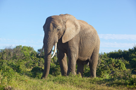 Close encounter with an elephant in Addo Elephant National Park South Africa.