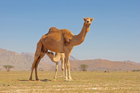A young camel taking milk from its mother near the UAE border, in Wadi Sumayni in Oman.