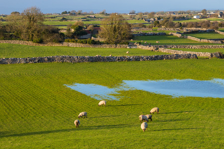 stonemasonry: Sheep grazing in a meadow in Cloughanover, near Headford in County Galway, Ireland. Stock Photo
