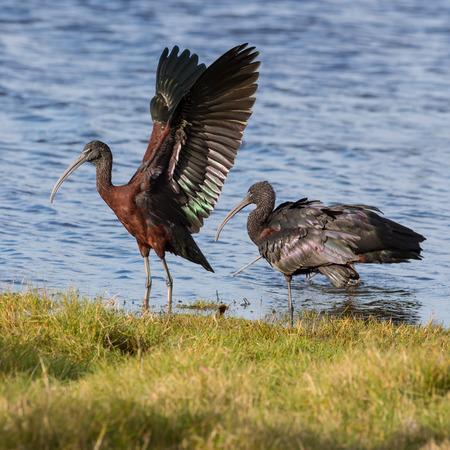 herdsman: The glossy ibis (Plegadis falcinellus) in the pond Stock Photo