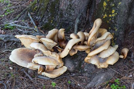 herdsman: Bracket fungus growing on a tree at Herdsman Lake in Perth, Western Australia.