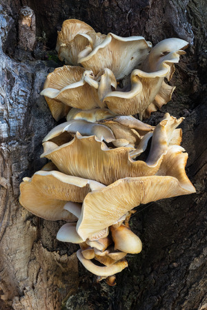 herdsman: Bracket fungus growing on a tree at Herdsman Lake in Perth, Western Australia.