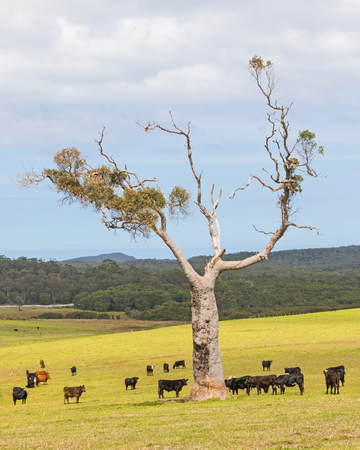 australian beef cow: A cattle farm near the towns of Nornalup and Walpole in Western Australia.