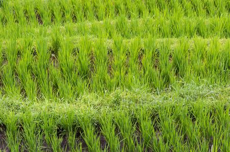 grain fields: Rice growing in a terraced paddy in Jatiluwih, in Bali, Indonesia.