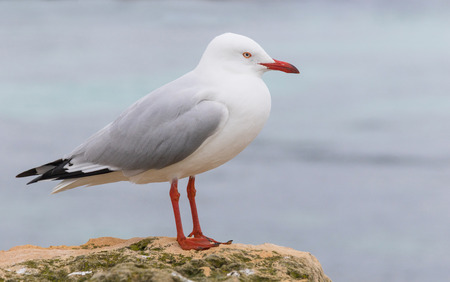 birdlife: A silver gull at Rottnest Island, near Perth and Fremantle in Western Australia. Stock Photo