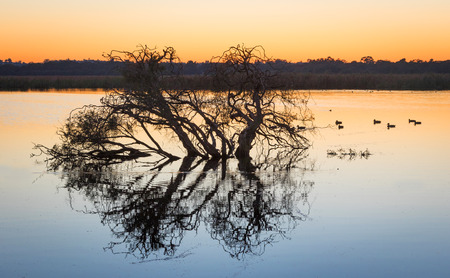 herdsman: Tree silhouette at dawn at Herdsman Lake in Perth, Western Australia.