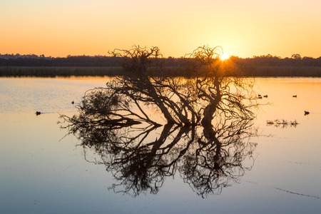 birdlife: Tree silhouette at dawn at Herdsman Lake in Perth, Western Australia.