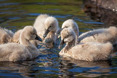cygnus atratus: Black Swan (Cygnus atratus) cygnets feeding. The black swan is one of Australias best-known birds, breeding mainly in the south-east and south-west regions.