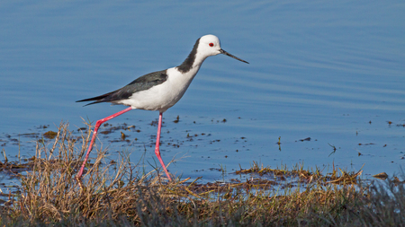 birdlife: The Black-winged Stilt, Common Stilt or Pied Stilt (Himantopus himantopus), is a widely distributed, very long-legged wader in the avocet and stilt family.