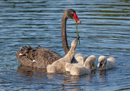 cygnus atratus: A Black Swan (Cygnus atratus), one of Australias best-known birds, feeding its cygnets.