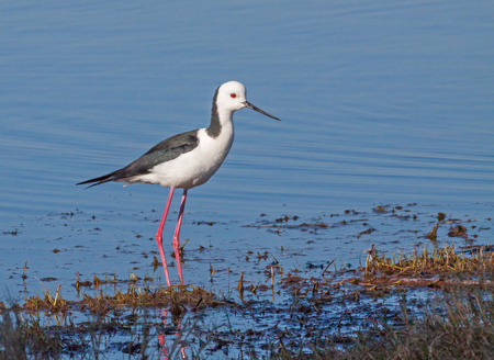 The Black-winged Stilt, Common Stilt or Pied Stilt (Himantopus himantopus), is a widely distributed, very long-legged wader in the avocet and stilt family.