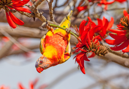 Color aberrations in a Rainbow Lorikeet (Trichoglossus haematodus) - a medium-sized Australian parrot - feeding on the flowers of a Coral Tree (Erythrina sykesii) in Perth, Western Australia. Stock Photo