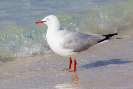 chroicocephalus: The Silver Gull (Chroicocephalus novaehollandiae) is the most common gull seen in Australia. It has been found throughout the continent, but particularly at or near coastal areas.