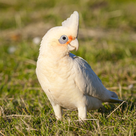 birdlife: A Little Corella (Cacatua sanguinea) at Lake Monger, Perth, Western Australia. Stock Photo
