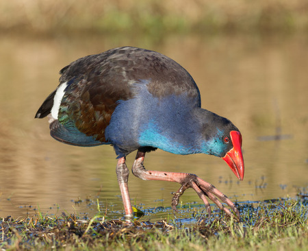 purple swamphen: Various subspecies of the Purple Swamphen occur in the Mediterranean countries, Africa, tropical Asia, Australasia  (where this example was photographed), Indonesia, and the Philippines. Stock Photo