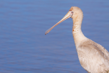 birdlife: A Yellow-billed Spoonbill (Platalea regia) at Herdsman Lake, Perth, Western Australia.