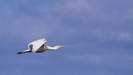 birdlife: A Yellow-billed Spoonbill (Platalea regia) in flight, Perth, Western Australia.